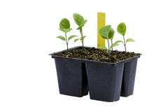Eggplant seedlings against a white background Stock Photos