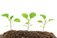 Eggplant seedlings Royalty Free Stock Images