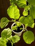 Eggplant seedlings Royalty Free Stock Photography