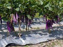 Eggplant vegetable plants with ripe fruit