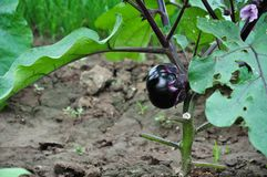 Eggplants. Is growing in Vegetable garden royalty free stock photos