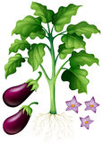Eggplants with flower and roots Royalty Free Stock Photography