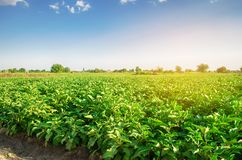 Eggplants grow in the field. vegetable rows. Agriculture, vegetables, organic agricultural products, agro-industry. farmlands. aub royalty free stock image