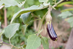 Eggplants growing in the garden,at phuket thailand Royalty Free Stock Photography