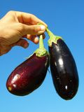 Eggplants in hand Stock Images