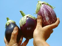 Eggplants in hands Stock Photography
