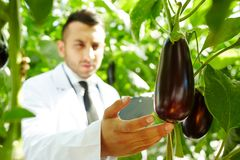 Eggplants in hothouse. Contemporary agroengineer touching ripe eggplant while carrying out scientific research in hothouse Royalty Free Stock Photos
