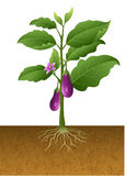 Eggplants plant on the tree illustration Royalty Free Stock Image