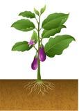 Eggplants plant on the tree illustration Royalty Free Stock Photo