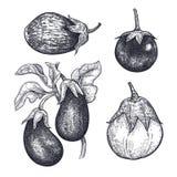 Eggplants isolated on white baskground. royalty free illustration