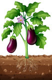 Eggplants on the tree Royalty Free Stock Photography