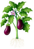 Eggplants on the tree Stock Image