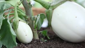 Eggplants white plants, hand take care in the vegetable garden stock video