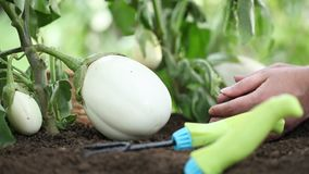 Eggplants white plants, hands take care working in the vegetable garden stock video footage