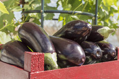 Eggplants. Wooden box with eggplants, prepared for the market Royalty Free Stock Photo