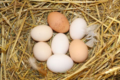 Eggs. In the natural chicken nest Royalty Free Stock Image