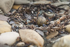 The eggs of the arctic tern on stone Stock Image