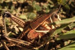 445 Plains Grasshopper Lubber Female Macro stock photos