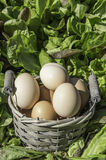 Eggs in a basket in a field of salad Stock Photo