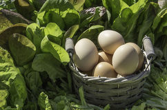 Eggs basket in a field of insalad. Some fresh eggs in a basket in a field of salad royalty free stock photos