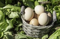 Eggs basket field of salad Royalty Free Stock Photography