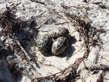 Eggs on the Beach. Three big eggs from Pied Oyster Catcher bird Stock Image