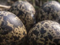 Eggs. Big eggs found in the field Royalty Free Stock Images