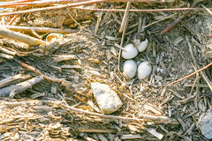 Eggs in bird nest Royalty Free Stock Photography