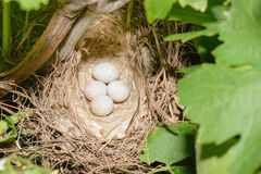 Eggs in bird nest among the branches of grapes. Sunlight Royalty Free Stock Photos