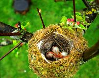 Eggs in birds nest. Overhead view of great tit bird eggs in nest on branches of tree royalty free stock image
