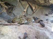 Eggs of birds. In a nest near an abandoned bathhouse in the desert.Eggs have a green color in black spots. Similar to camouflage royalty free stock images