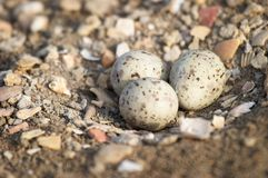 Eggs of Black-winged Stilt Stock Photography