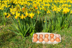 Eggs in box on grass with yellow daffodils Royalty Free Stock Images