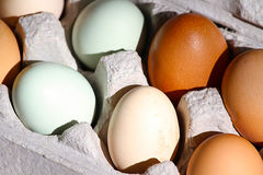Eggs. Carton of blue and brown free-range eggs, sustainable living Royalty Free Stock Photo
