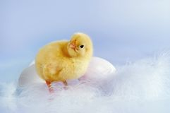 Eggs and chick. Two eggs and an easter chick against a soft blue background Stock Images