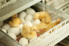 Eggs and chicken Stock Photography