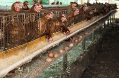Eggs chicken farm. Stock Image