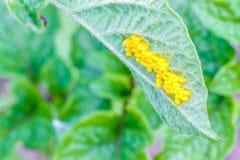 Eggs of the Colorado potato beetle. royalty free stock photos