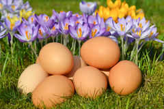 Eggs. Crocus and eggs on the grass Stock Photography