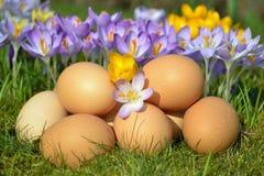 Eggs. And crocus in springtime Stock Photos