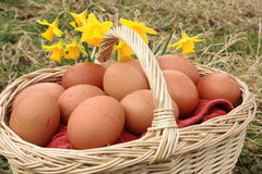 Eggs and daffodils. Free range eggs in basket, outdoors with yellow daffodils Royalty Free Stock Photo