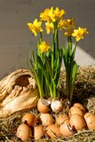 Eggs and Daffodils Easter Display Royalty Free Stock Image