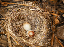 Eggs of Dark-eyed Junco Royalty Free Stock Photo