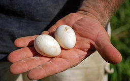 Eggs from the Farmer's Hand. A farmer holds fresh hen eggs just pulled from the nest on his farm in Maryland Royalty Free Stock Photography