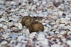 Eggs. Found a bird or snake eggs Royalty Free Stock Photos