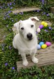 Eggs Found By a Dog. All white Jack Russell Terrier sitting next to some found easter eggs. He is sitting in the garden on wooden steps surrounded by purple Royalty Free Stock Image