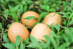Eggs in the green grass. Chicken eggs found inside the green grass in the fields Stock Photo