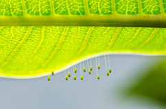 Eggs of green lacewing royalty free stock photos