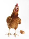 Eggs hen. Royalty Free Stock Photos