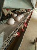 Eggs il prpduction immagini stock libere da diritti